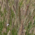 Pennisetum alopecuroides 'Fox Trot' (syn. Japonicum)